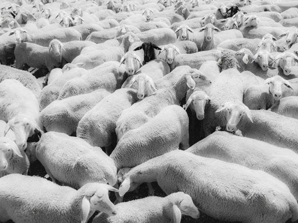 Sheep Everywhere nr. 2 by Jens Haas